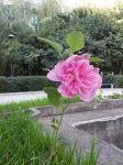 Цветок у Бурденко