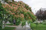 В Саках цветёт Альбиция