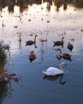 Лебеди на Сакском озере