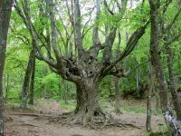 В Крыму растет 33 дерева, возраст которых более 1000 лет