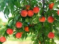 В Крыму небывалый урожай персиков, 3 августа 2013