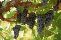 В Сакском районе запущен винный инвестпроект