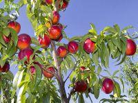 Сакская молодежь приглашается на уборку фруктов
